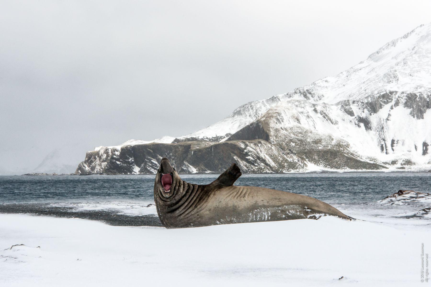 Elephant Seal Barking, Right Whale Bay, South Georgia Islands