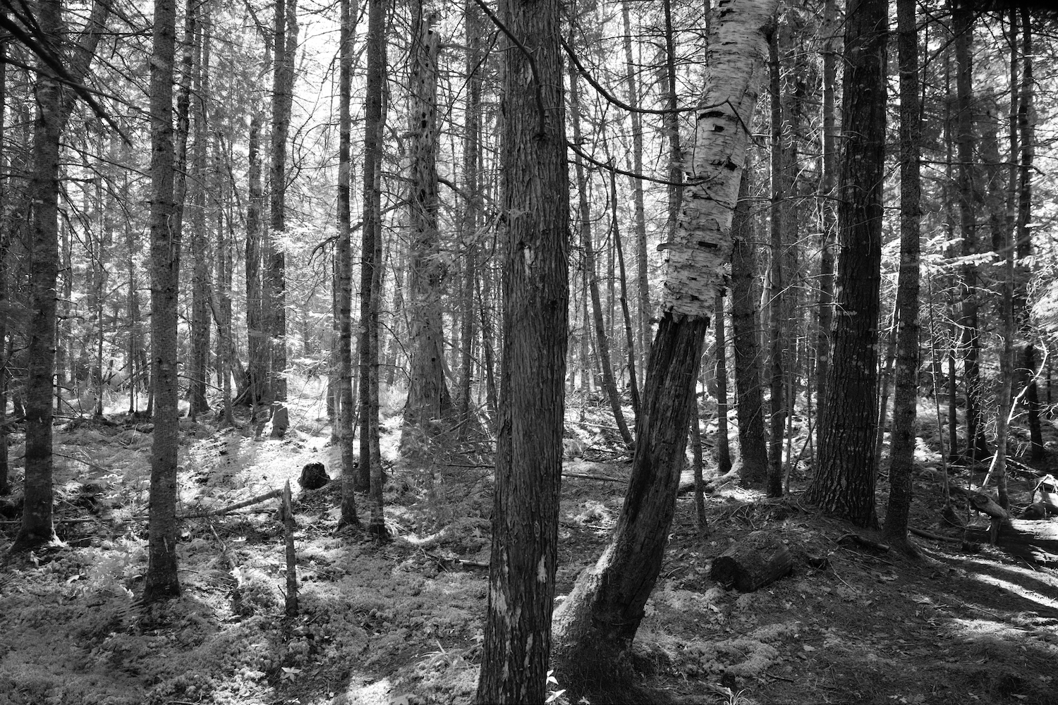 Long Pond Trail Woods, Acadia National Park