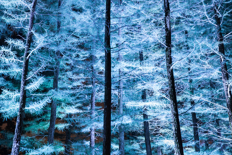 Blue Trees, Longwood Gardens