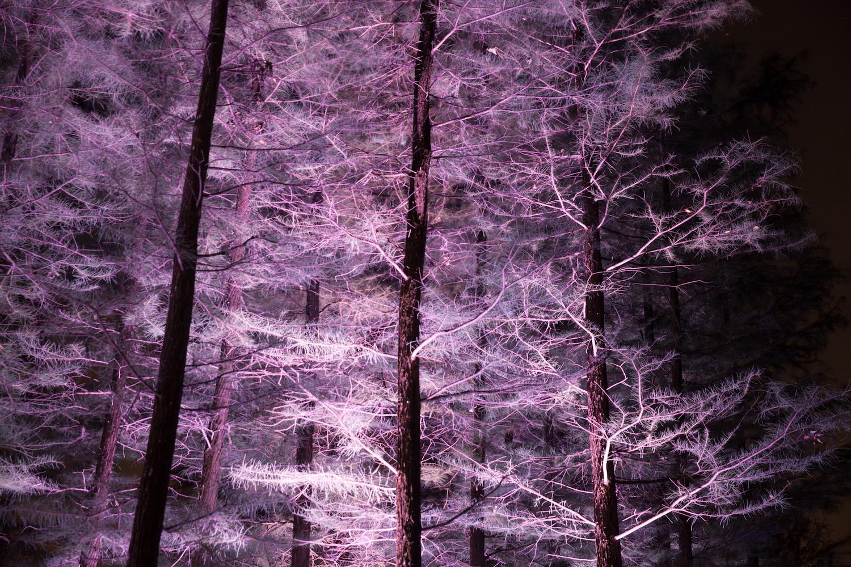 Pink Trees, Longwood Gardens