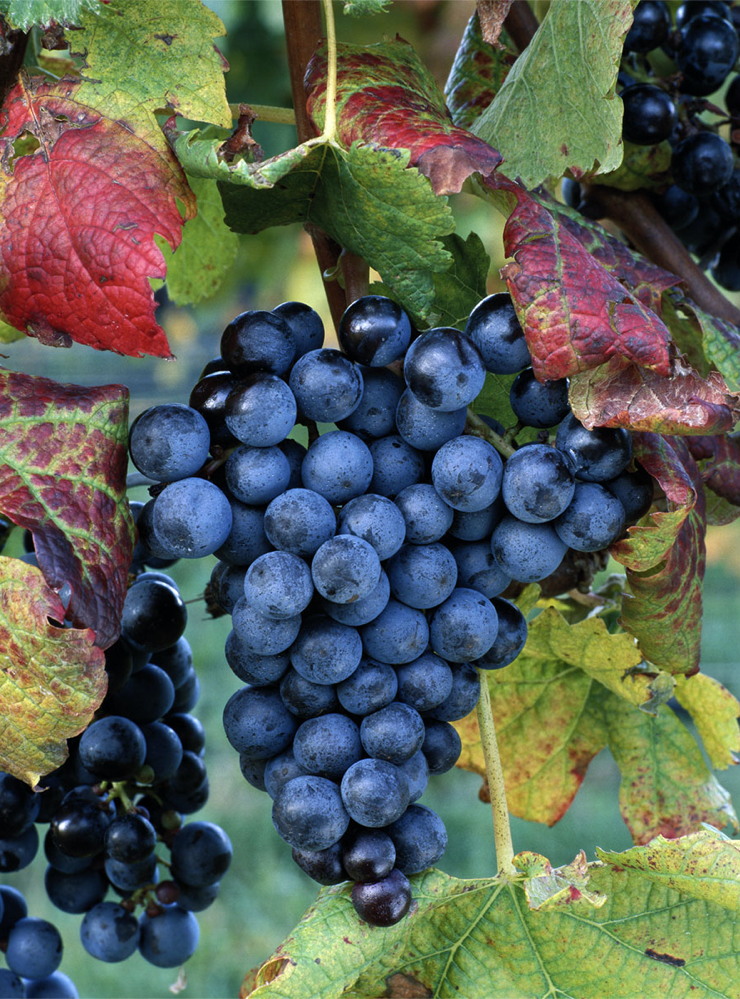 North Fork Grapes by Kevin Ferris
