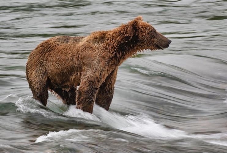 Alaska Bear in a River by Kevin Ferris
