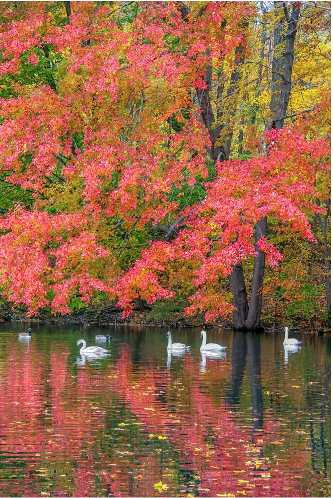Swan Lake by John Renner