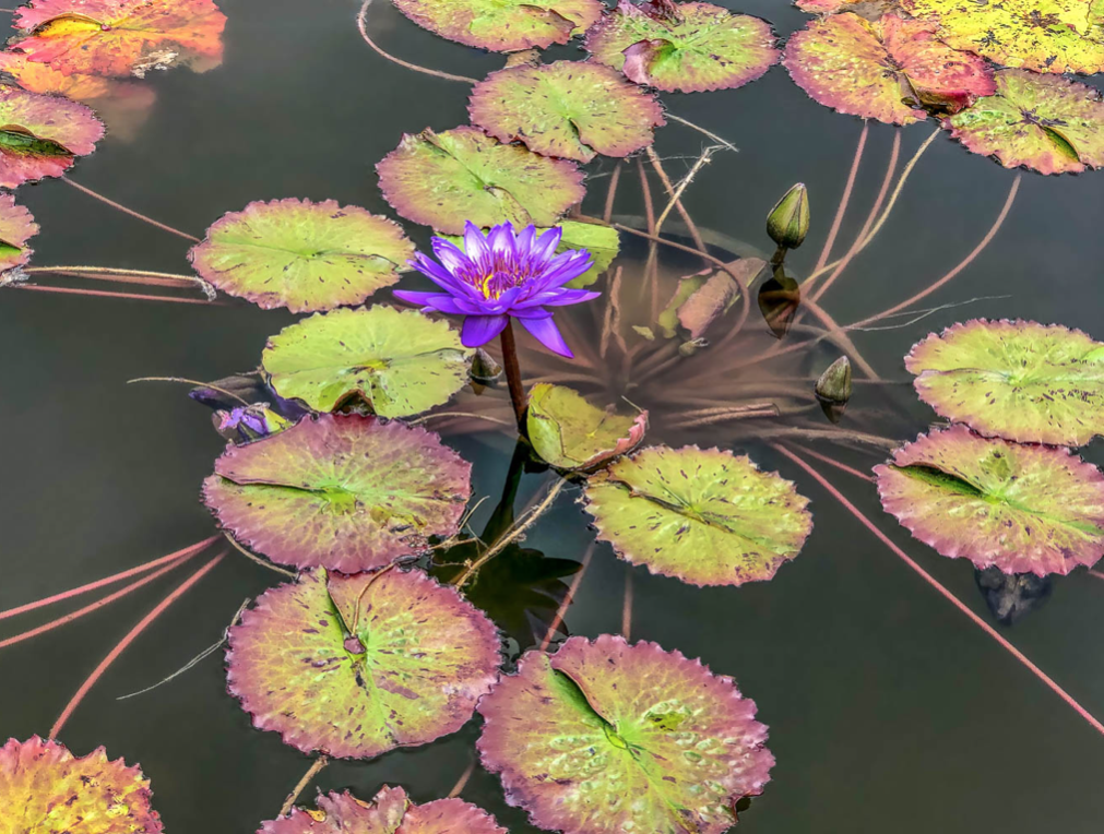 Waterlily by John Renner