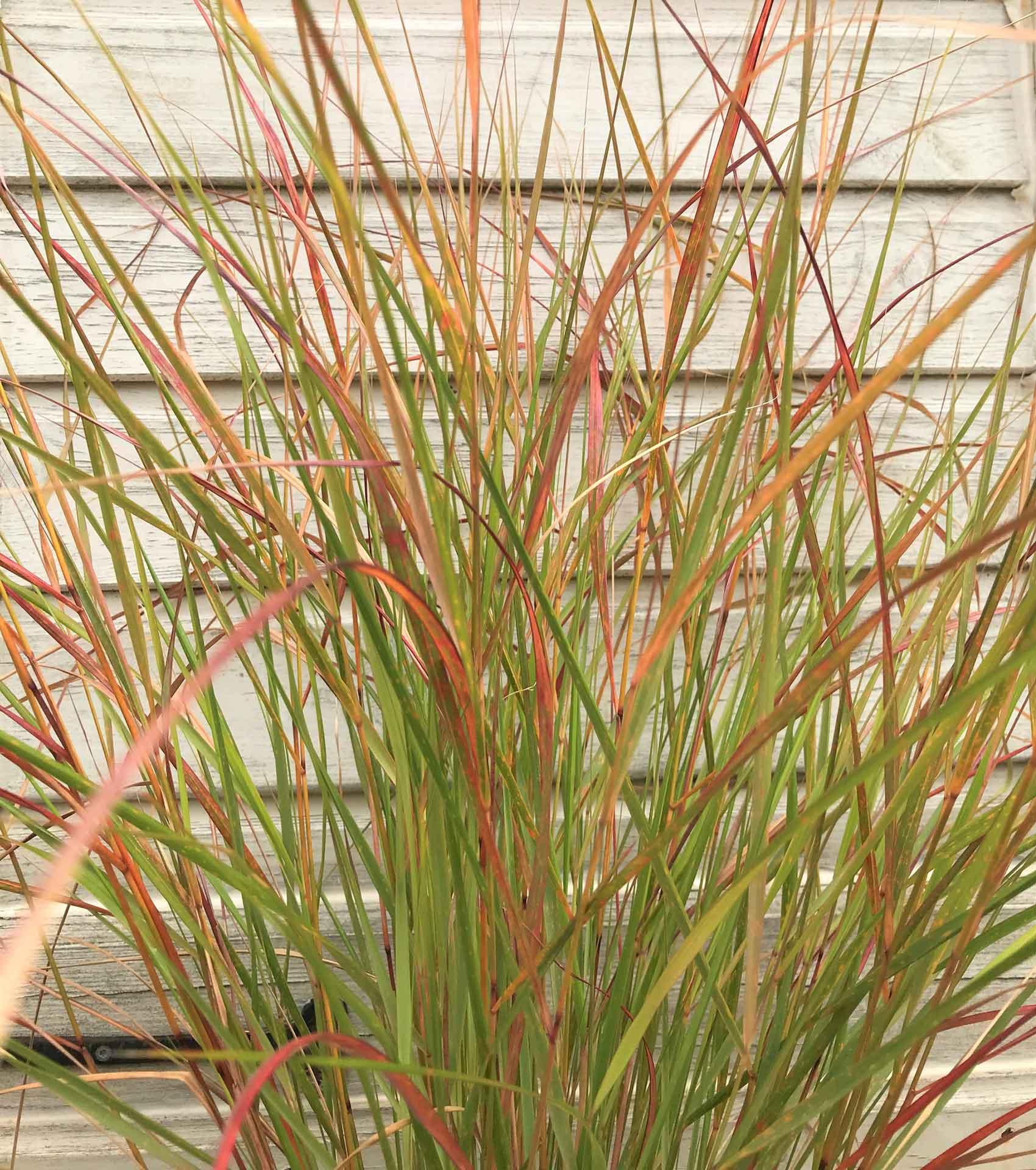 long grass plant