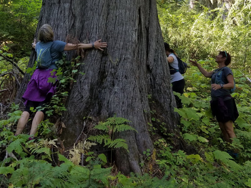 Old Cedar with Alpine Running Guides