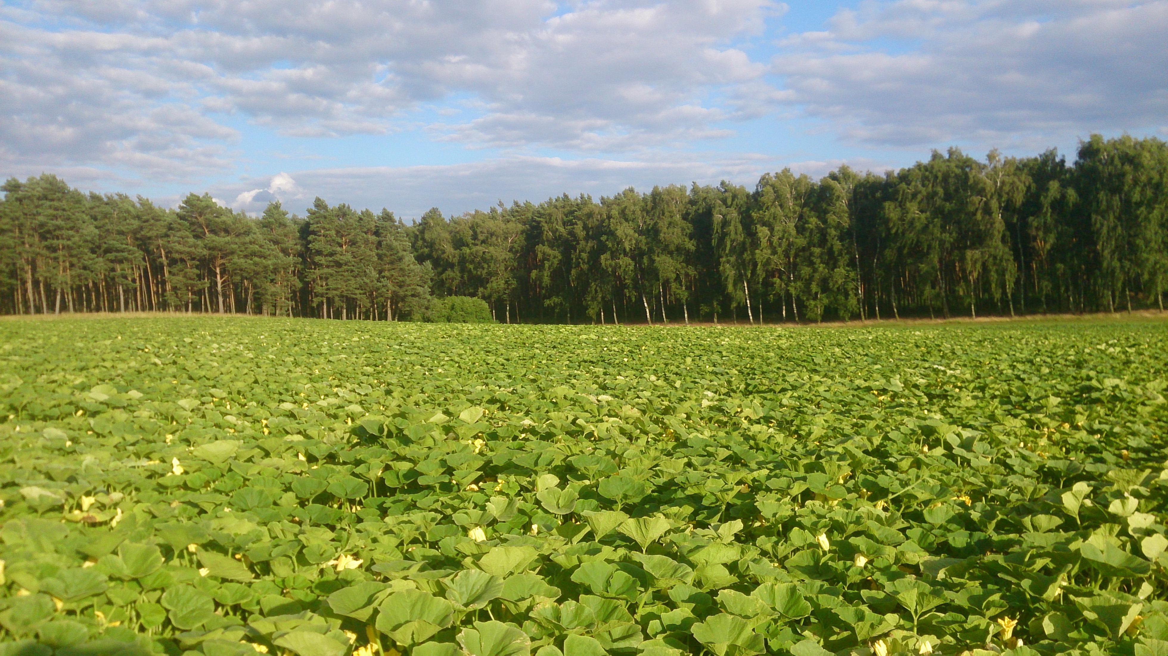 Ein großes Hokkaido-Kürbisfeld vor einem dichten Waldstück.