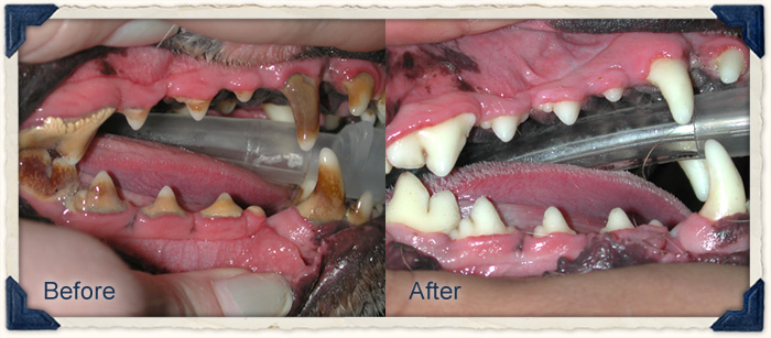 Before and After of dog's dental cleaning