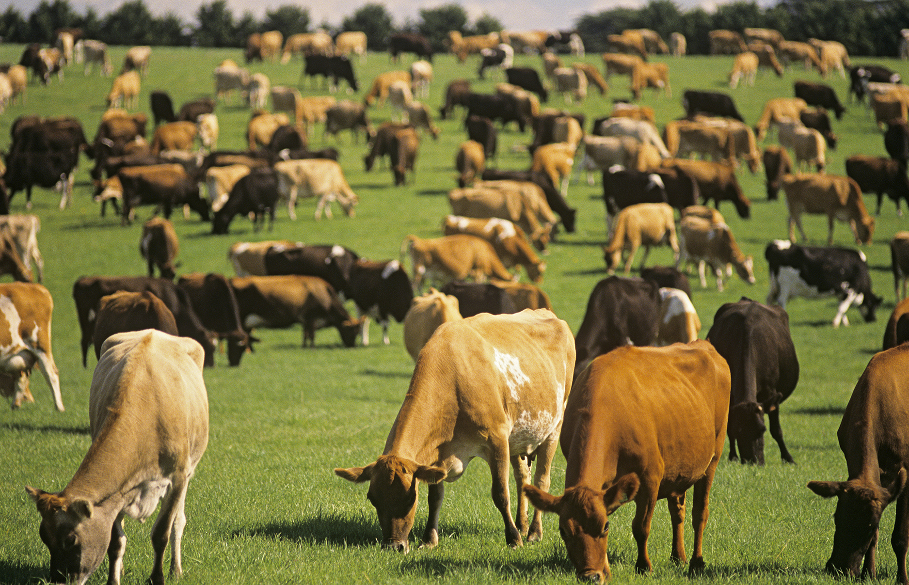 Grass fed and organic cows milk