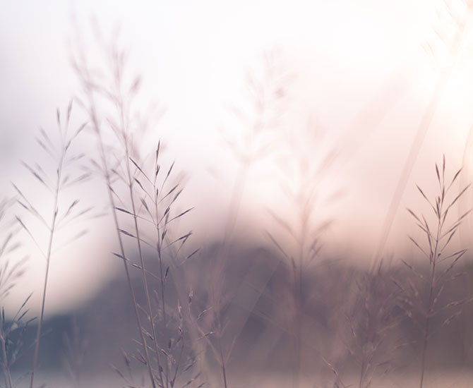 Gräs i solnedgång