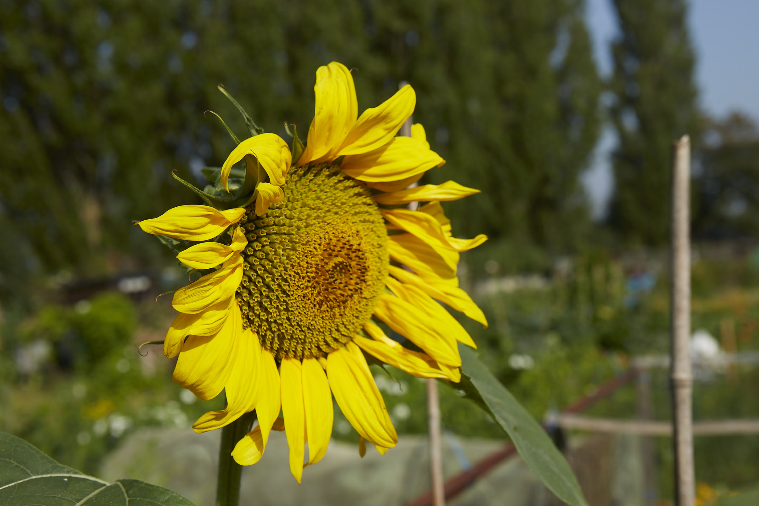 Henley Town Council - Healthy Sunflower in Henley