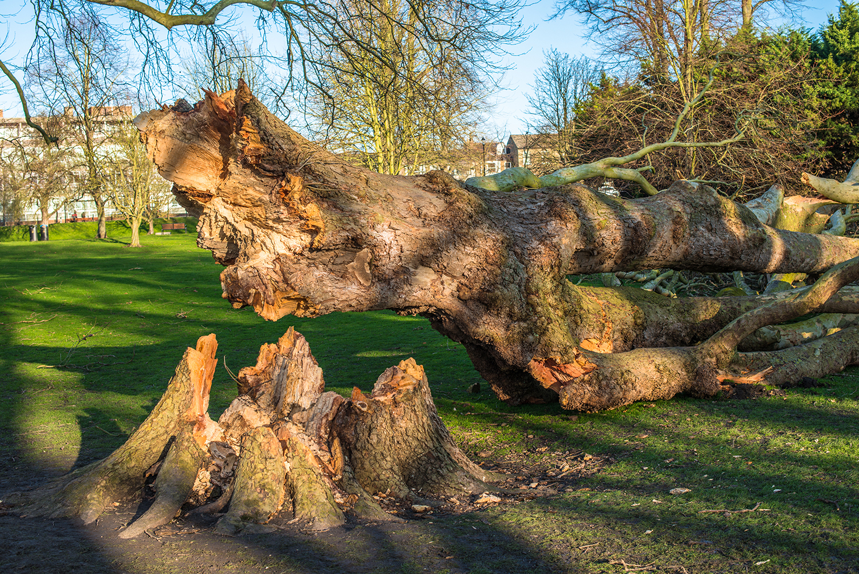 Henley Town Council - Fallen tree
