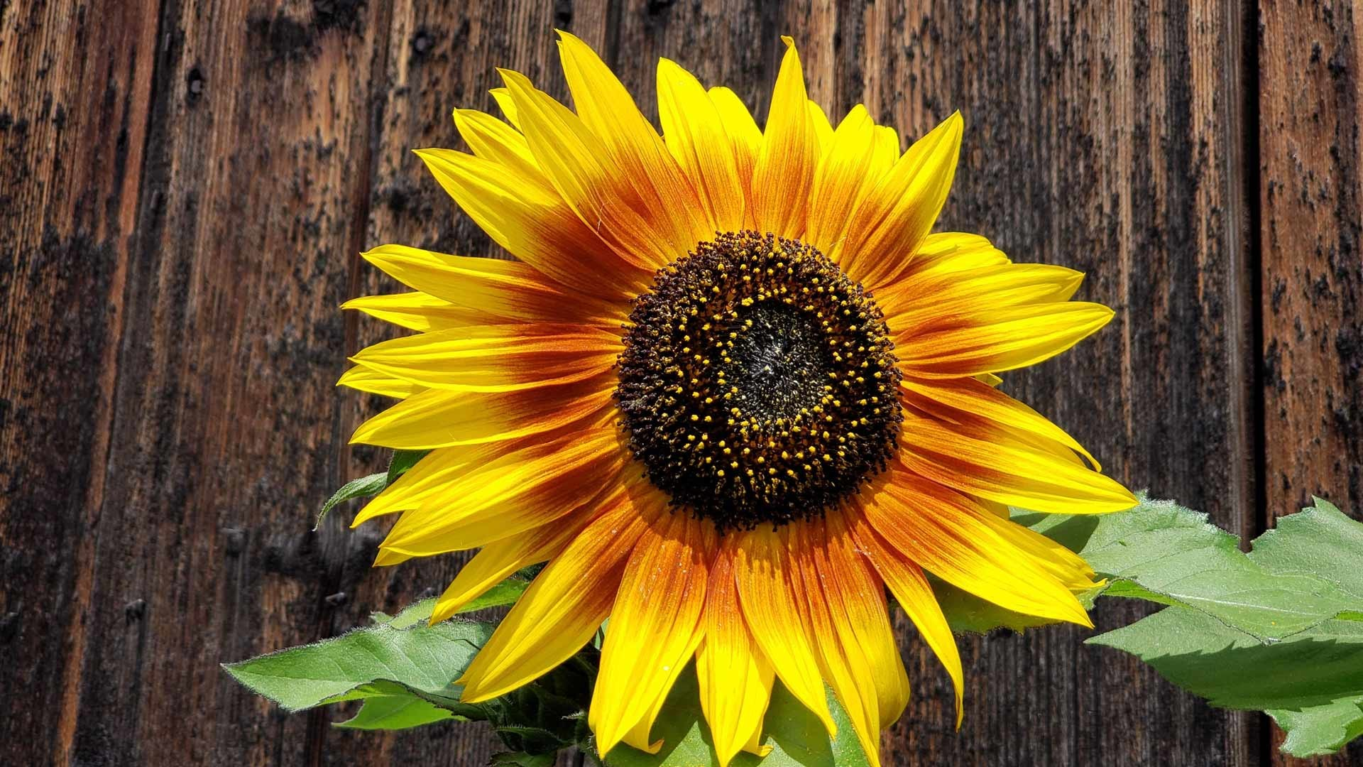 sunflower used as brand recognition for AllerGale Design