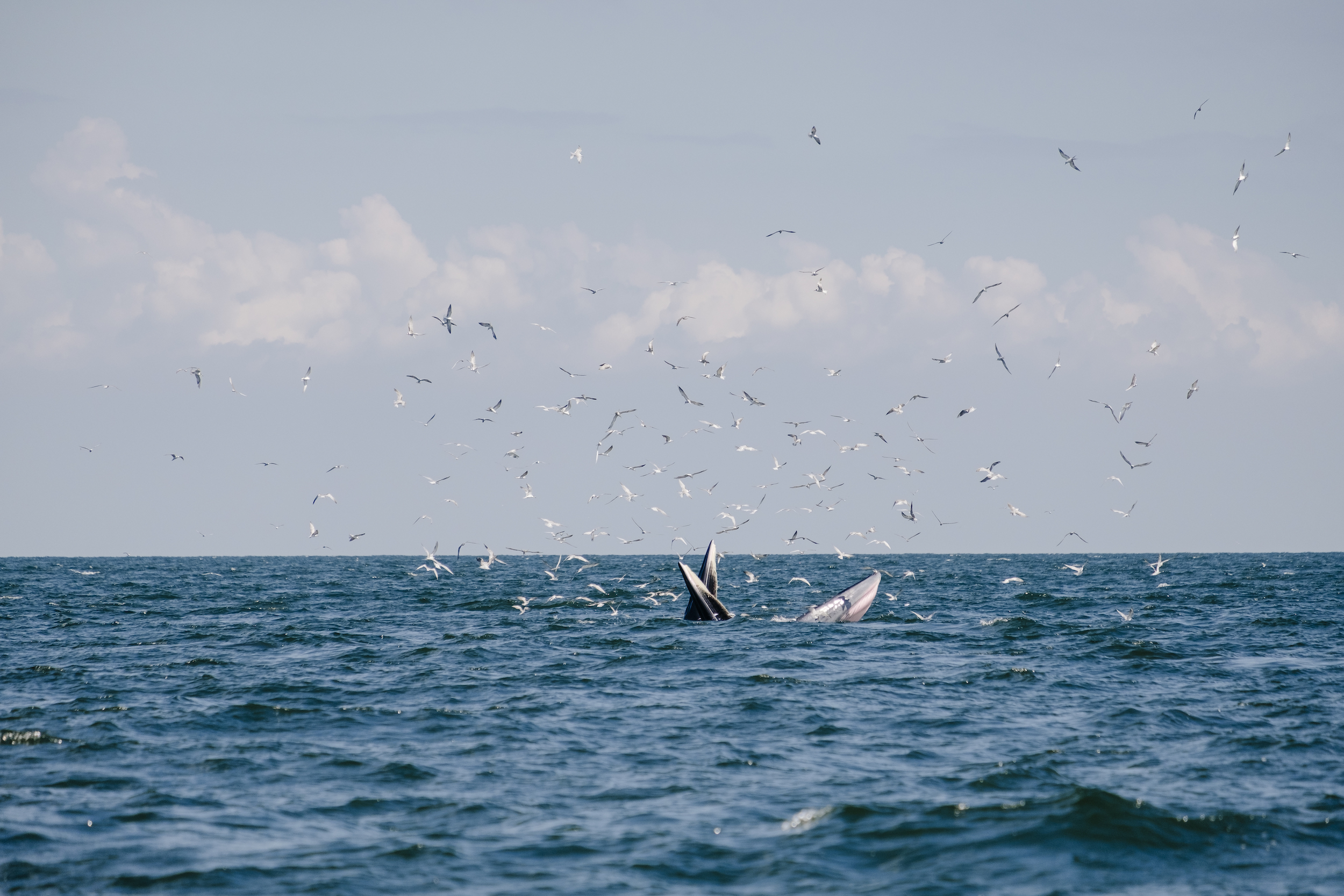 A whale breaking the surface surrounded by seagulls