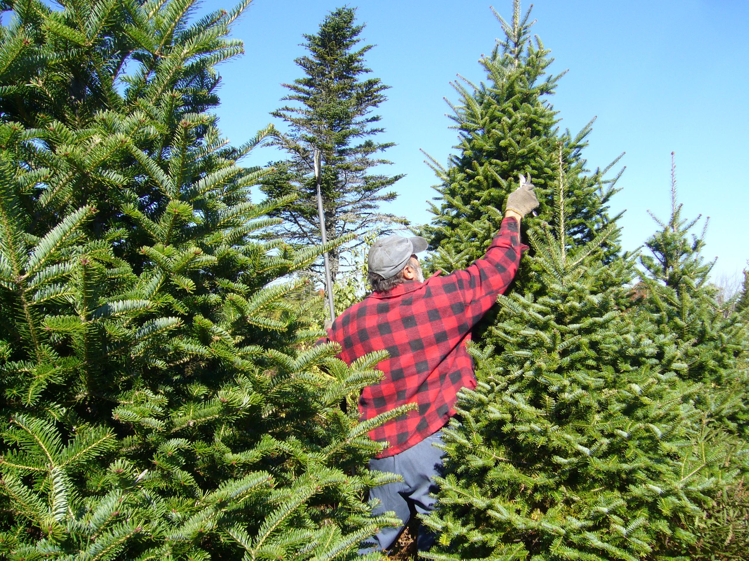 ChristmasTreeShortage.jpg