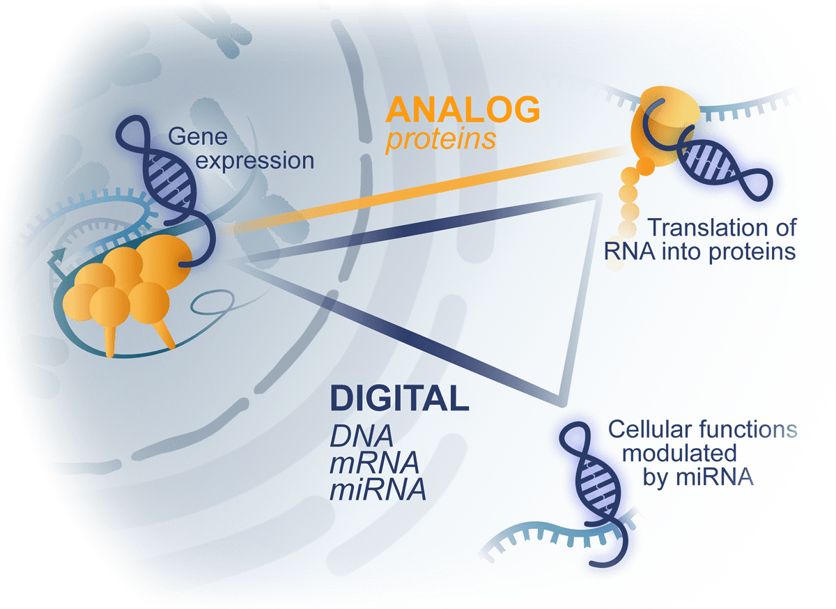 LncRNAs interact with proteins and nuclei acids, DNA and RNA, at nucleus and cytoplasmic compartment of the cell