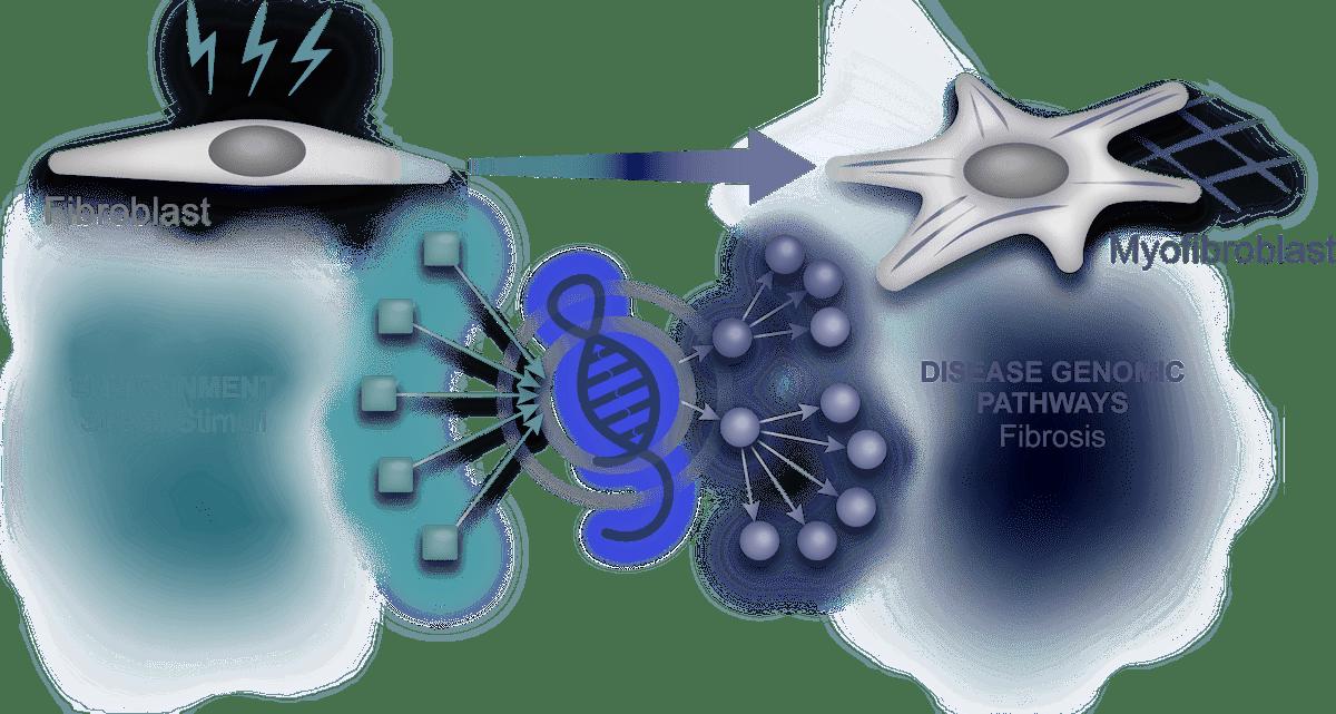 Stress environmental stimuli activates lncRNA. lncRNA trigger fibrosis pathways, converting fibroblasts into myofibroblast