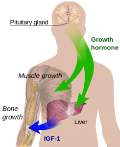 How the human growth hormone works