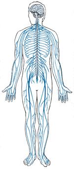 Zenuwstelsel mens