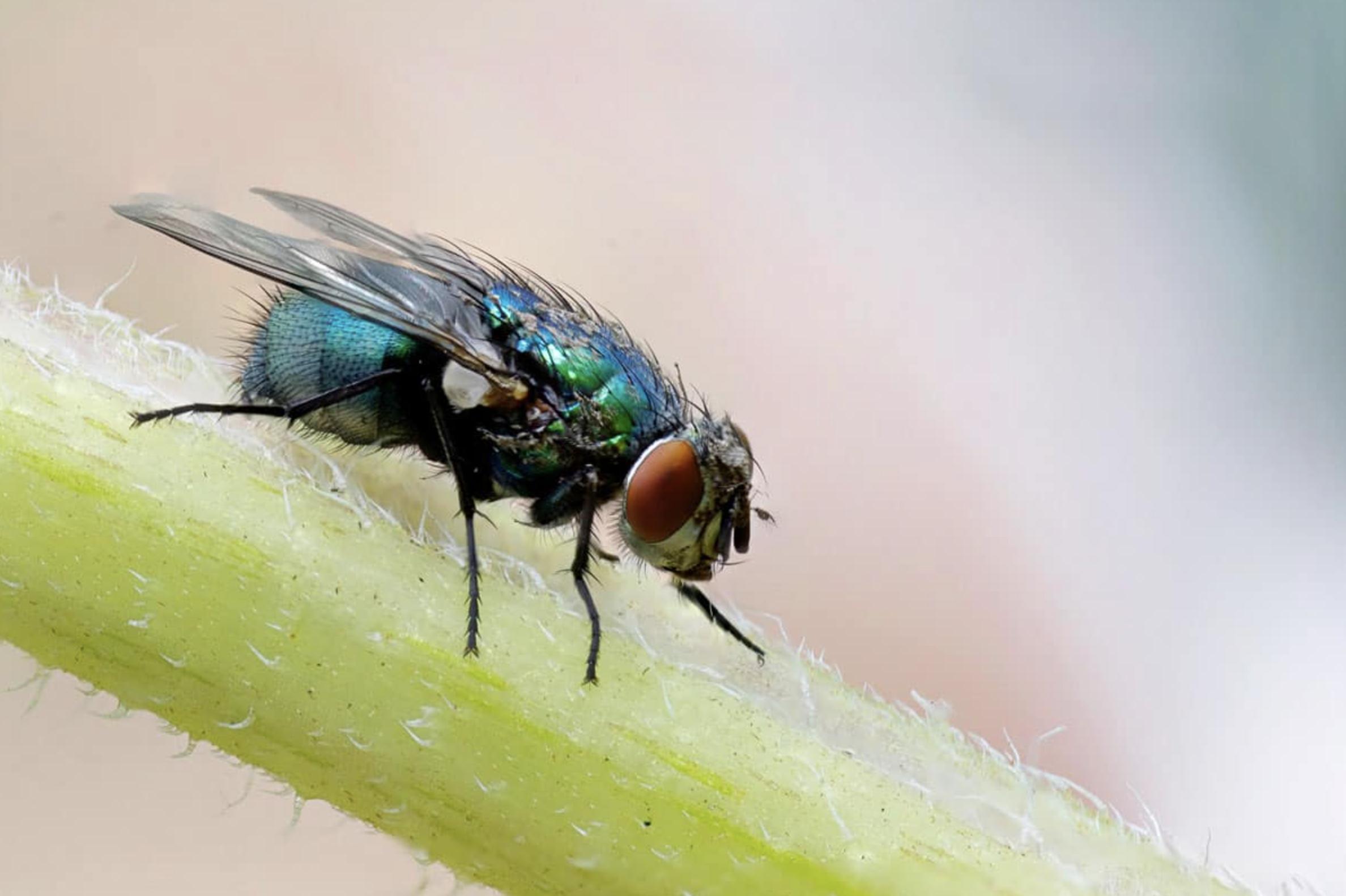Prévenir une infestation de mouche |Le guide