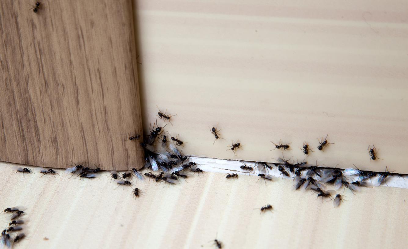 Extermination de fourmis