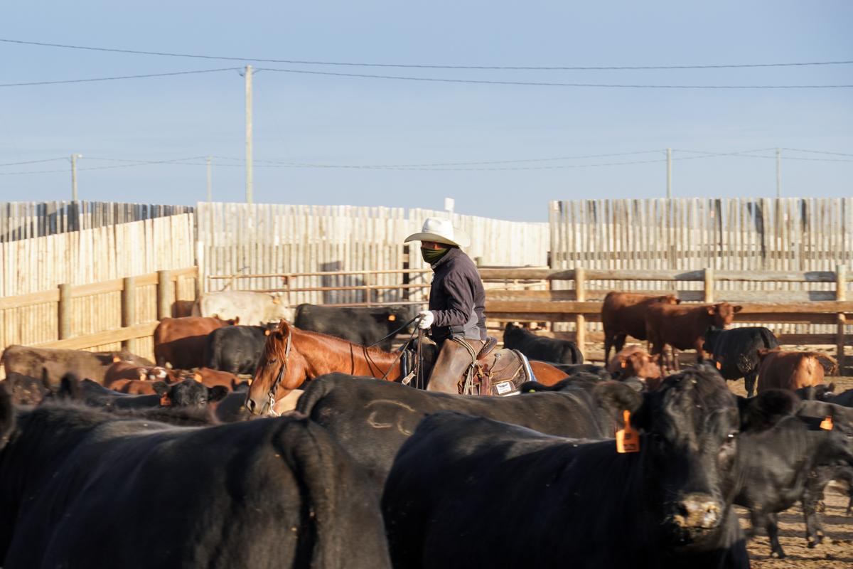 Pen rider scanning amongst feedlot cattle