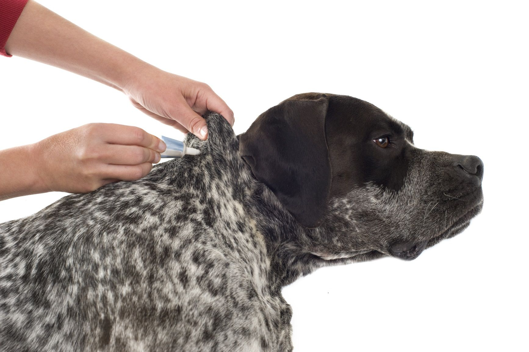 Why it's Important to take your Pet with Fleas to the Vet.