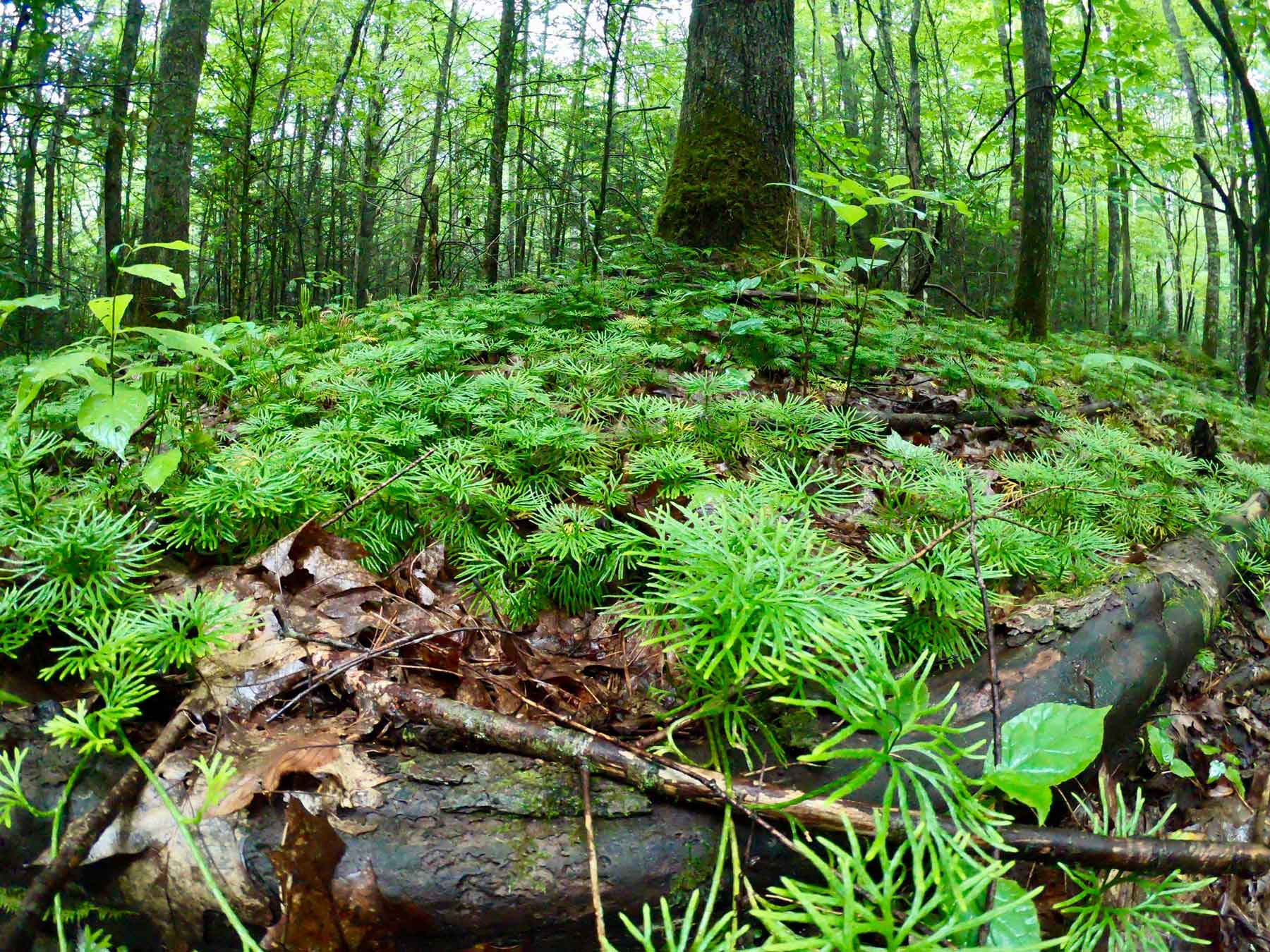 Creeping cedar patch along the Tom Gray Trail in Roan Mountain State Park, Tennessee