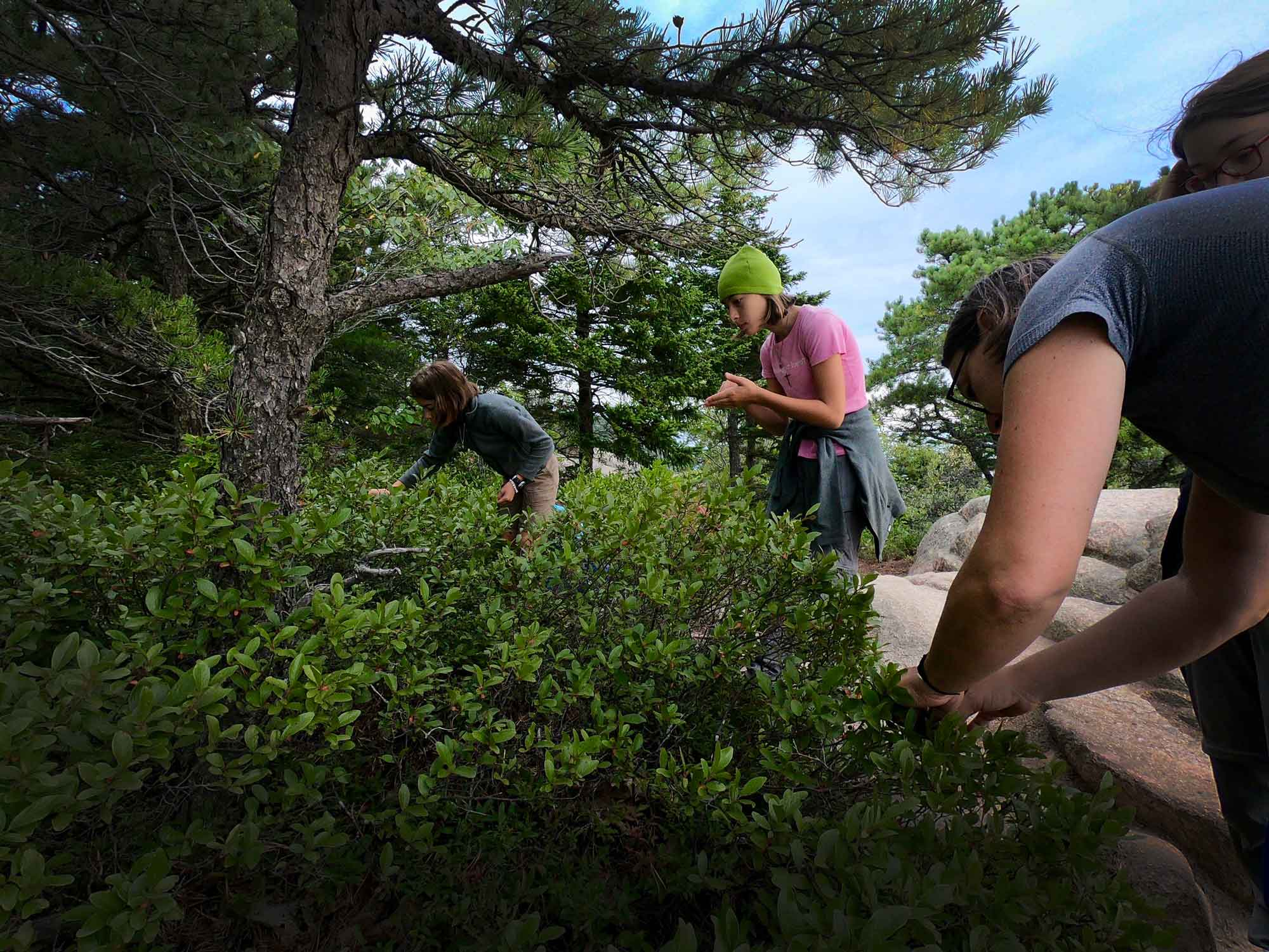 Family picking huckleberries on the Beehive Trail, Acadia National Park, Maine
