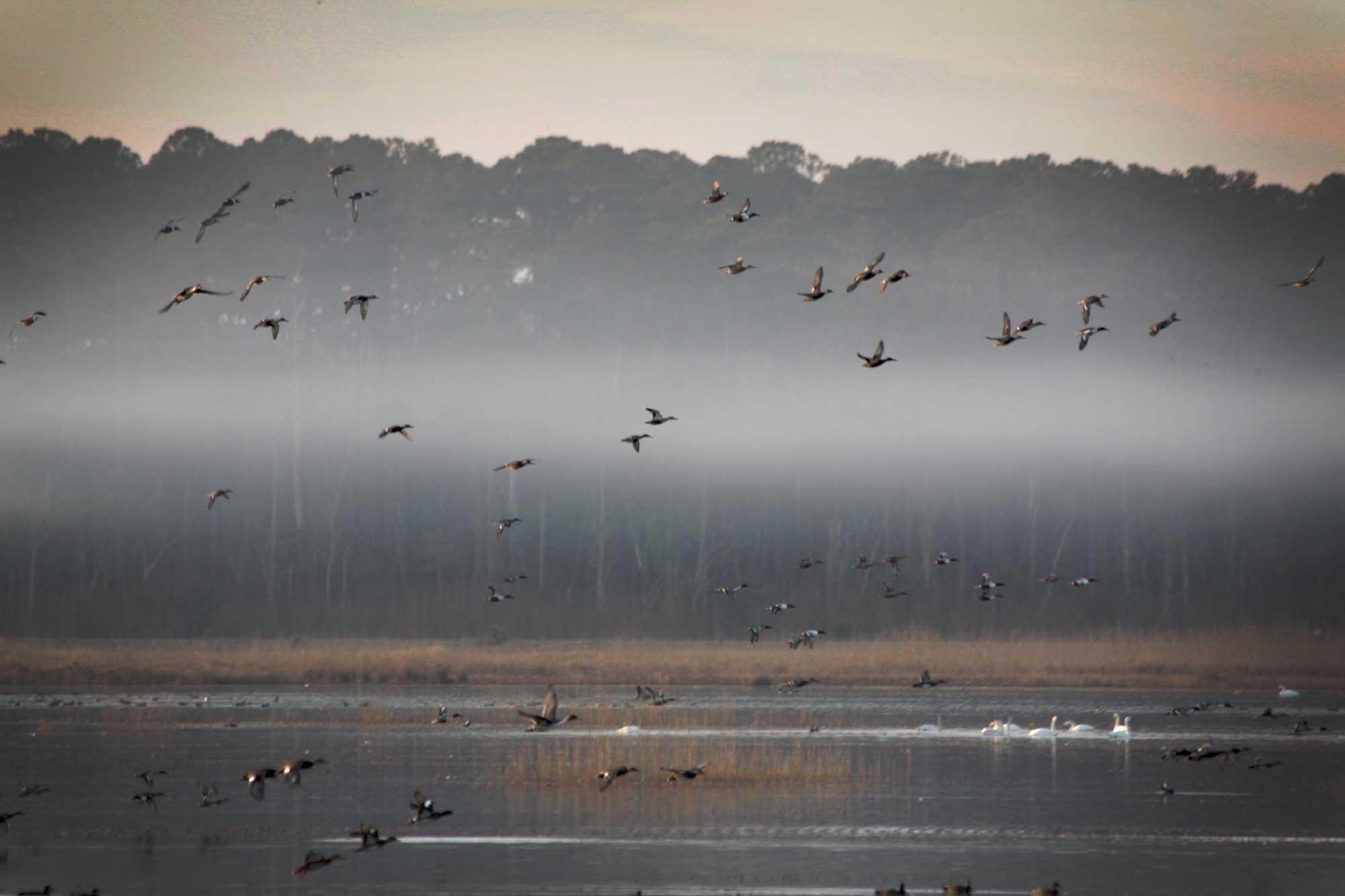 Ducks flying over a misty Lake Mattamuskeet at the Mattamuskeet National Wildlife Refuge
