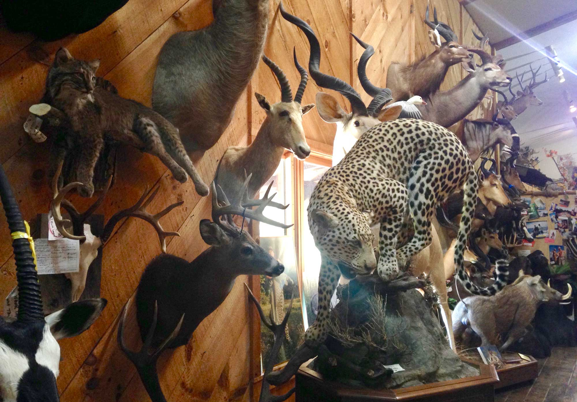 Mounted exotic wildlife specimens at Wilderness Taxidermy and Wildlife Museum in Franklin, North Carolina