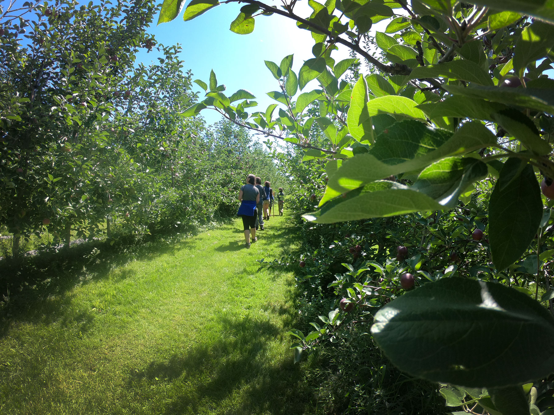 Family walking through orchards to pick apples at Burtt's Apple Orchard in Vermont