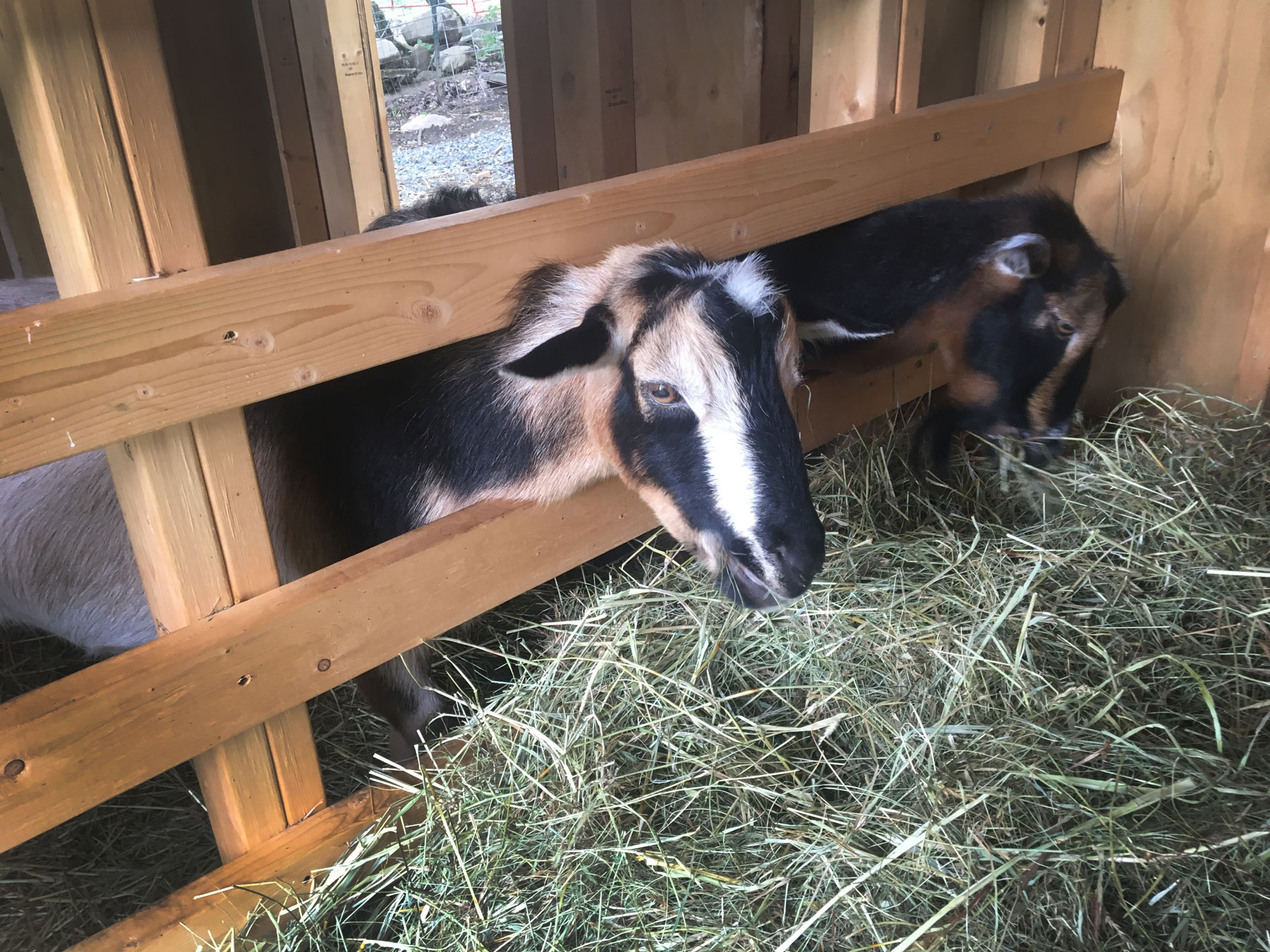 Two goats at the petting zoo of the Sugarbush Cheese & Maple Farm in Woodstock, Vermont