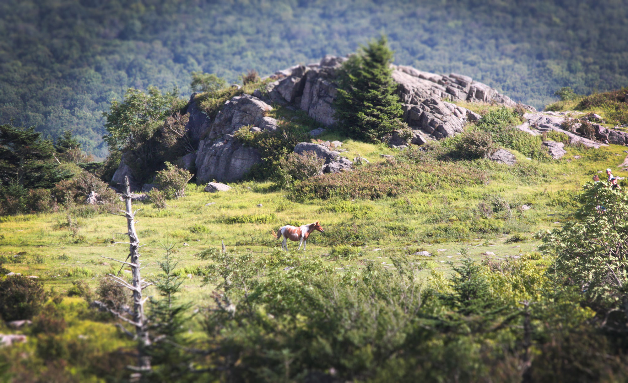 Wild pony at a knob in Grayson Highlands State Park, Virginia