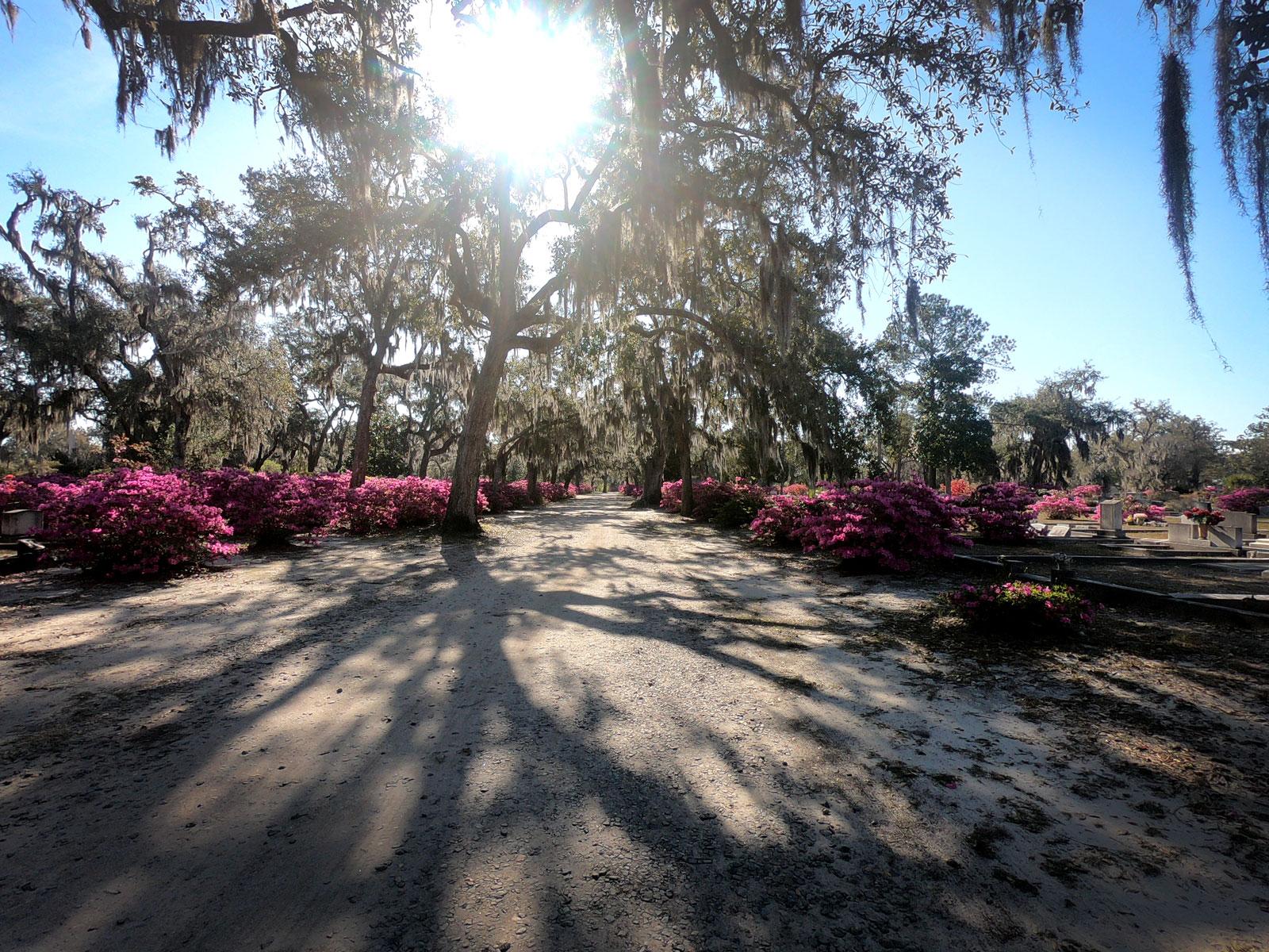 Narrow road with Spanish moss draped live oaks and blooming azaleas in Bonaventure Cemetery, Savannah, Georgia