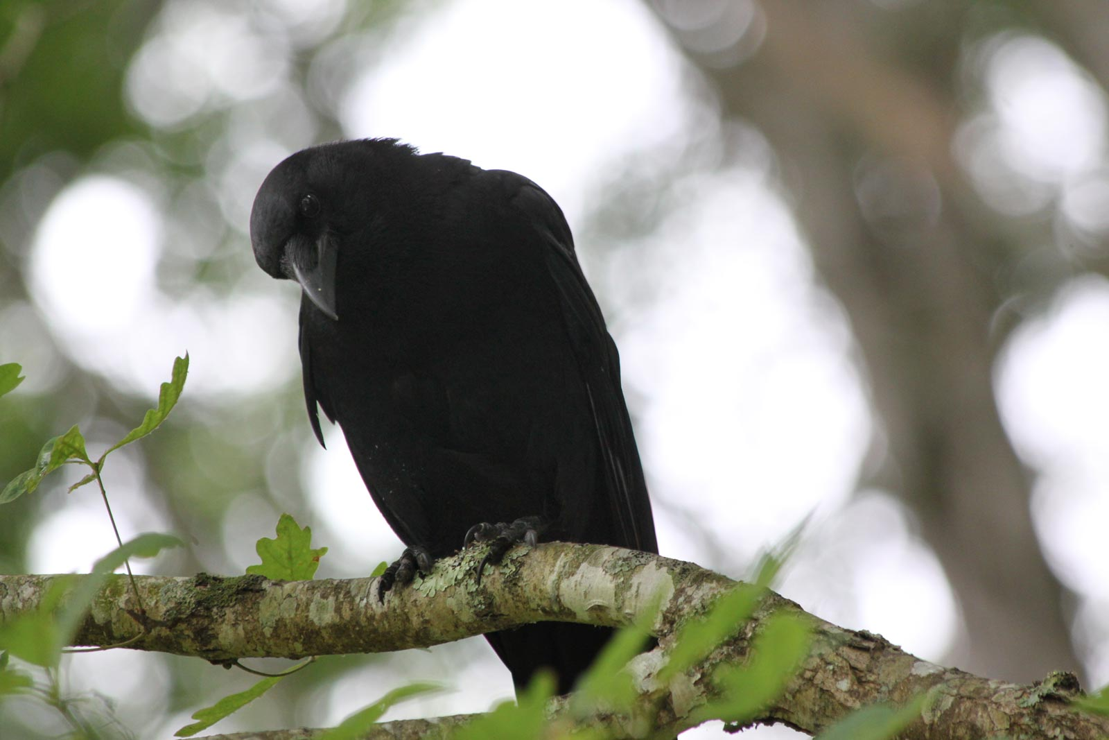 Crow at Hungry Mother State Park, Virginia