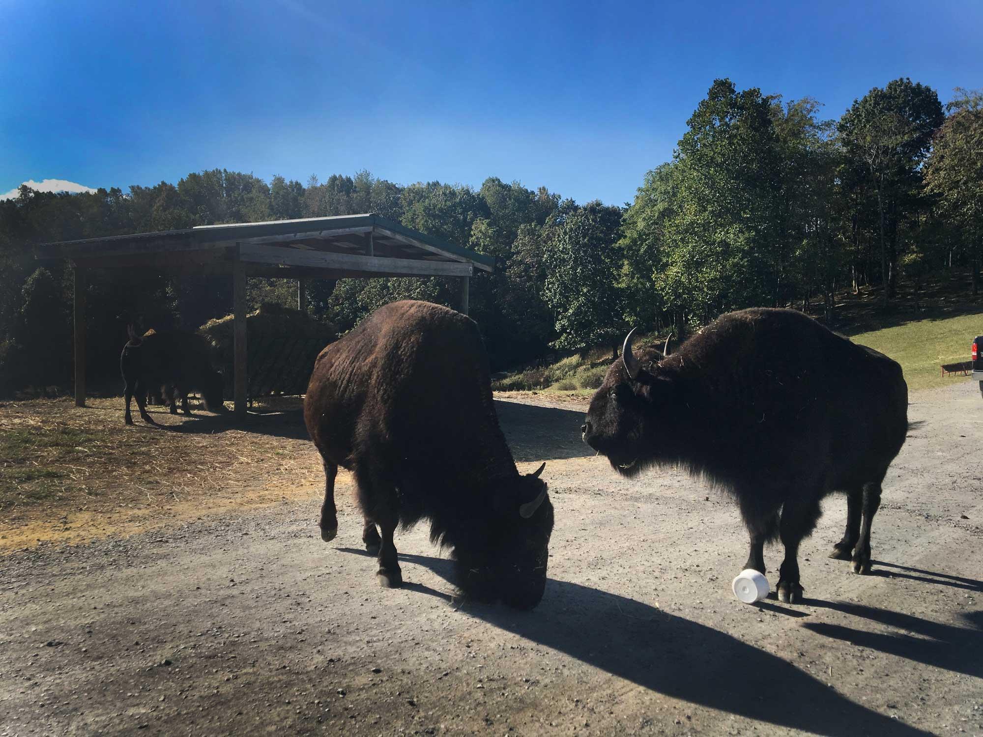 Two bison guarding a bucket at Virginia Safari Park, Natural Bridge, VA