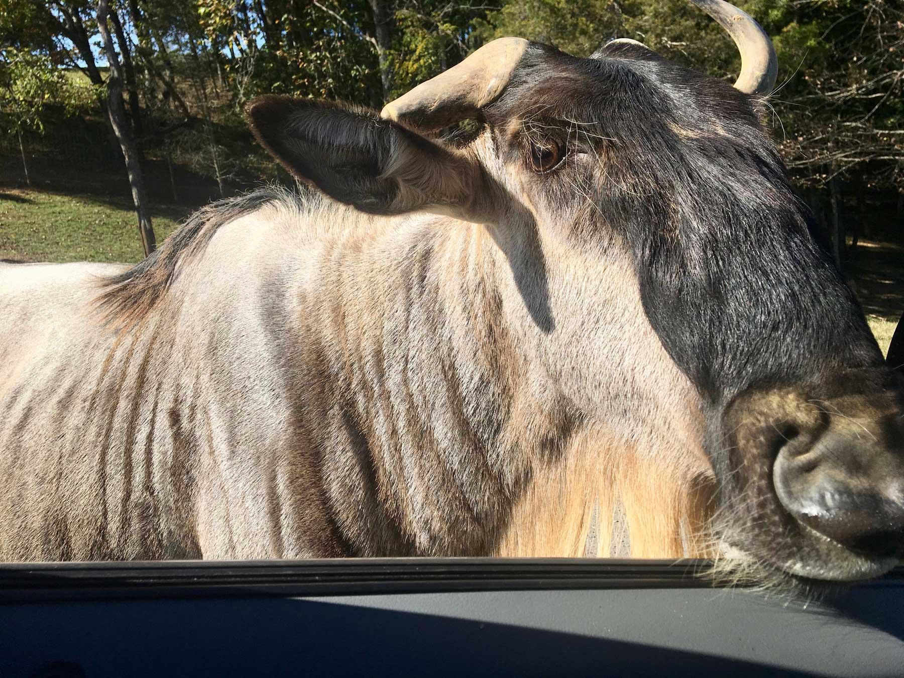 wildebeest at the car window at Virginia Safari Park, Natural Bridge, VA