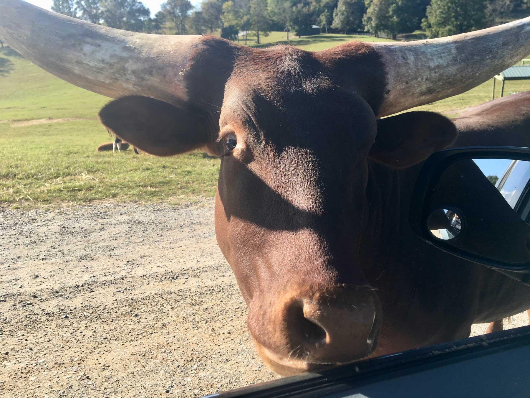 Long-horned cow at car's window at Virginia Safari Park, Natural Bridge, VA