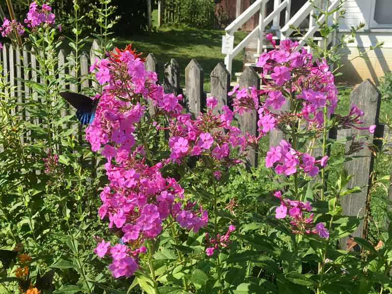 Butterfly on bright pink flowers along picket fence in Miller Farmstead in Roan Mountain State Park, Tennessee