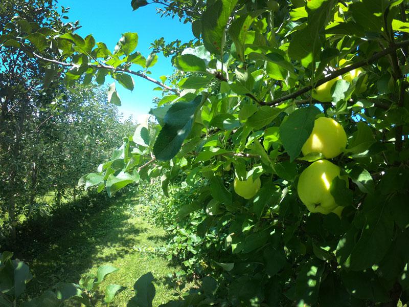 Golden apples in Burtts Apple Orchard, Vermont