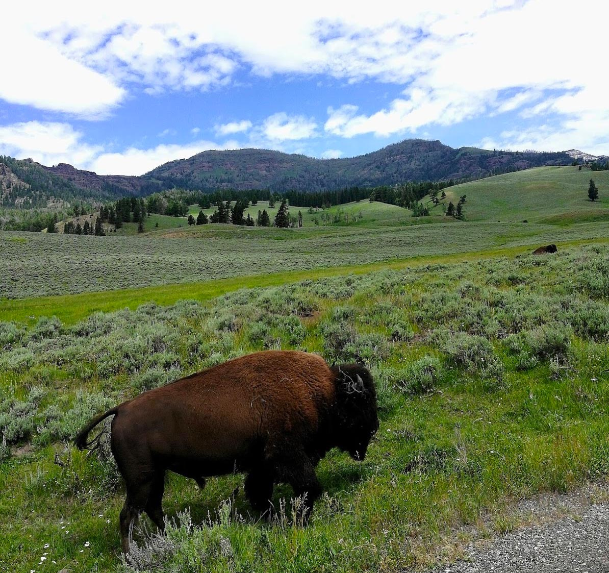 Bison on the side of the road in Lamar Valley, Yellowstone National Park