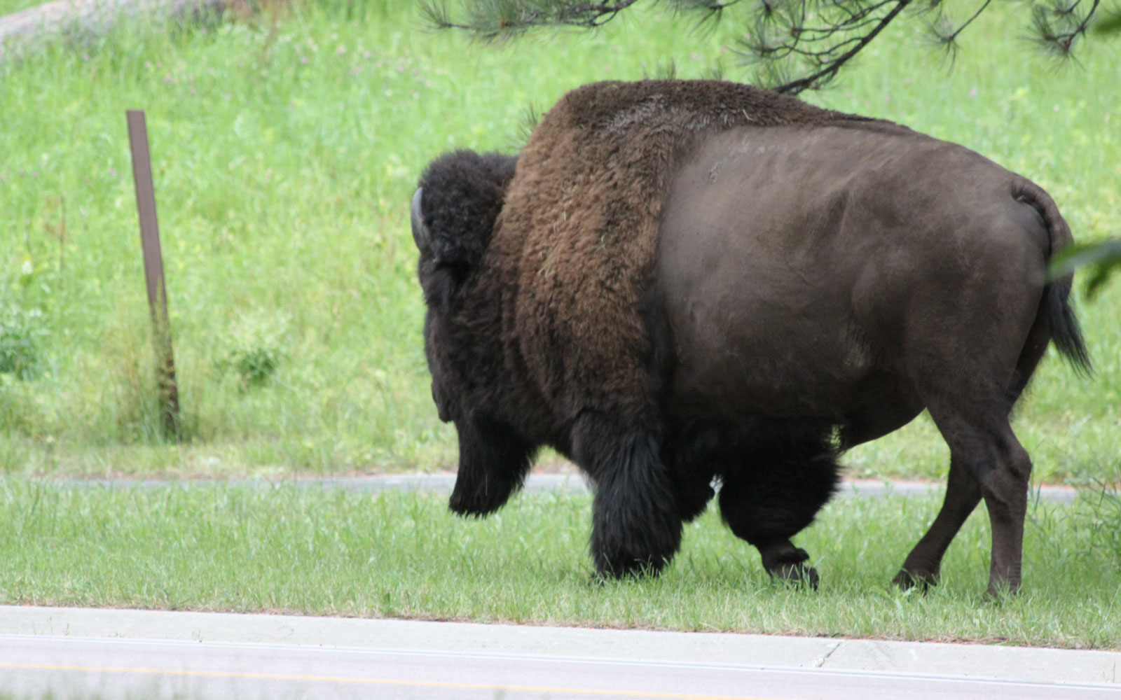 Photo of a bison wandering through Grace Coolidge campground in Custer State Park, South Dakota
