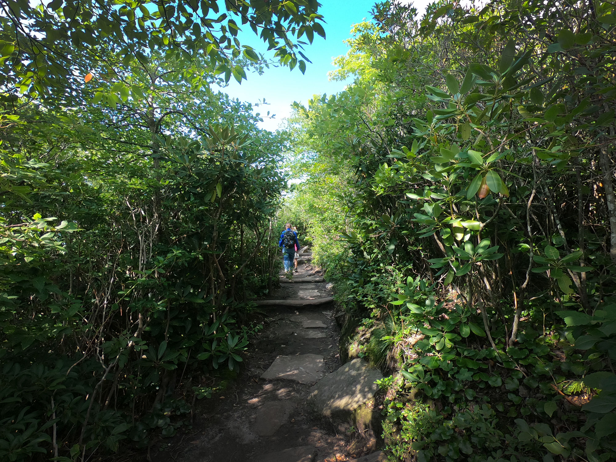 Hiking through the rhododendron tunnels on Rough Ridge Trail, off Blue Ridge Parkway, North Carolina