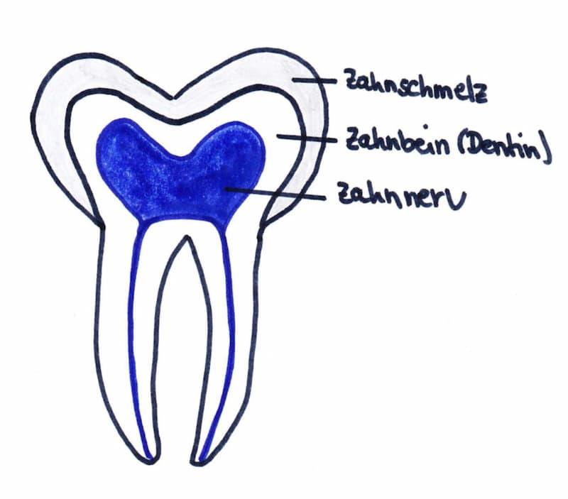 Aufbau eines Zahnes. Im Inneren liegt der Zahnnerv, dann kommt das Dentin, der äußere Schutzmantel heißt Schmelz
