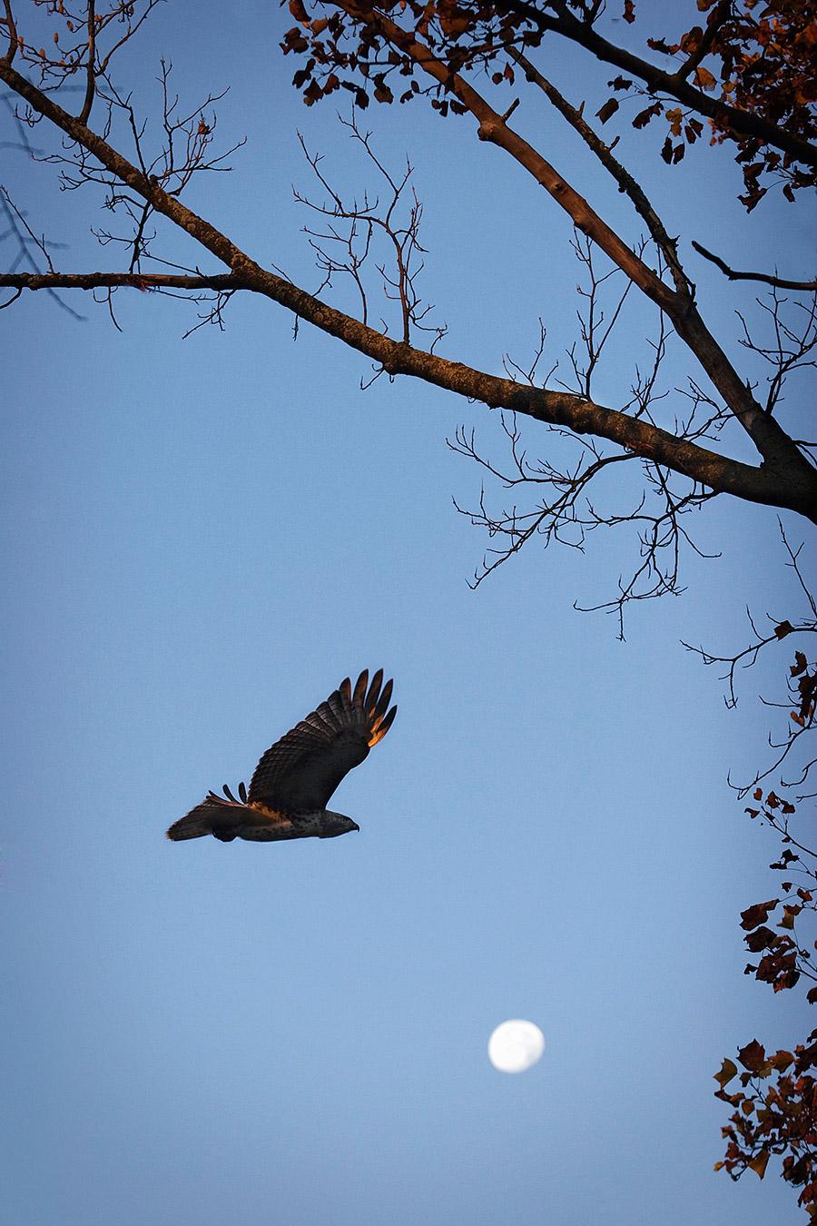 Hawk in flight against Lake Monona moon.