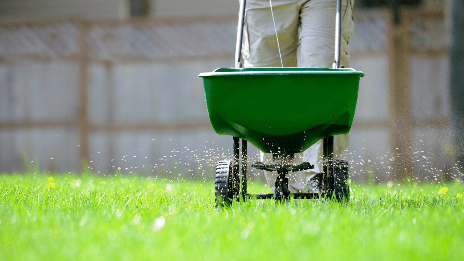 Applying grass seed and fertilizer with walking spreader.
