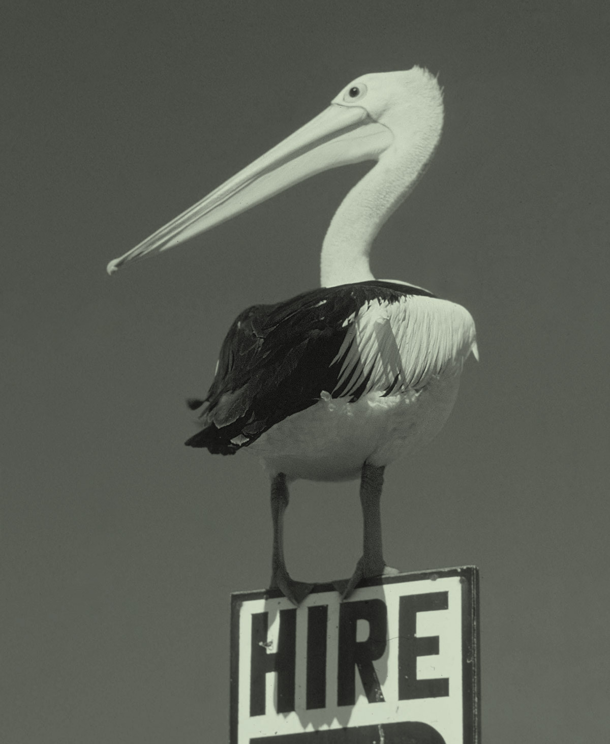 Pelican on a Hire Sign