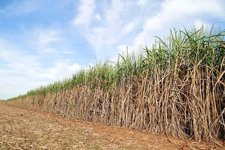 Paisagem de plantação de cana de acúcar com trecho já colhido