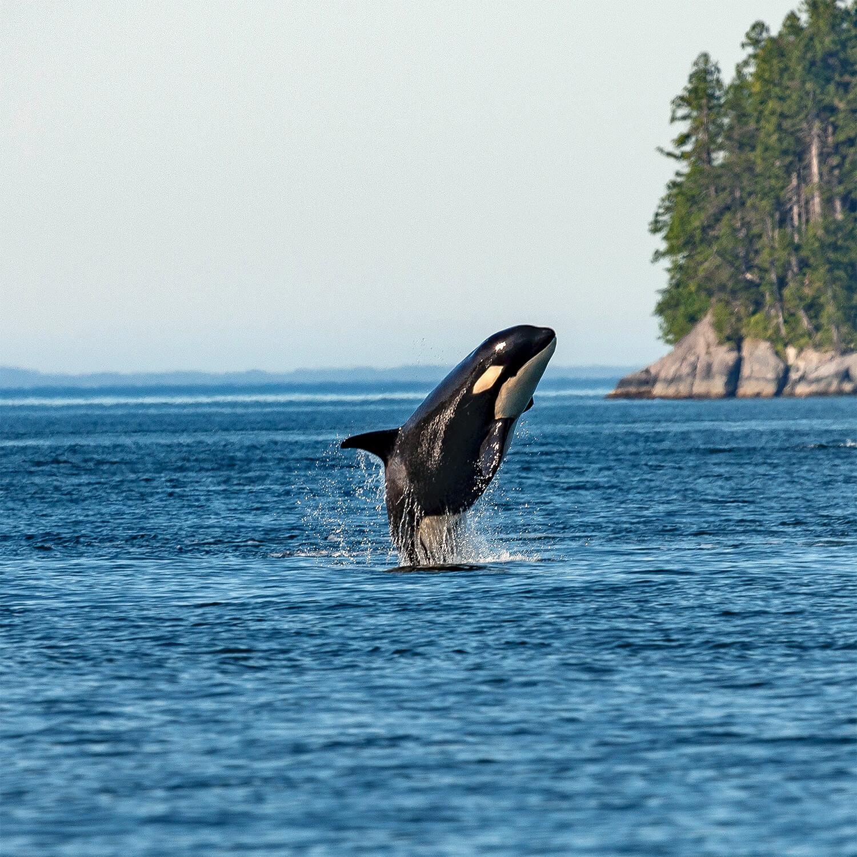air huarache orca, why the name